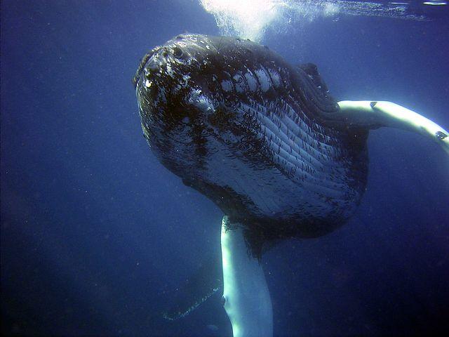 humpback-79854__480