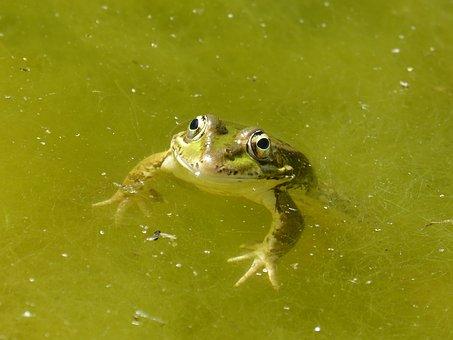 Frø i overfalde på grønt algefyldt vand